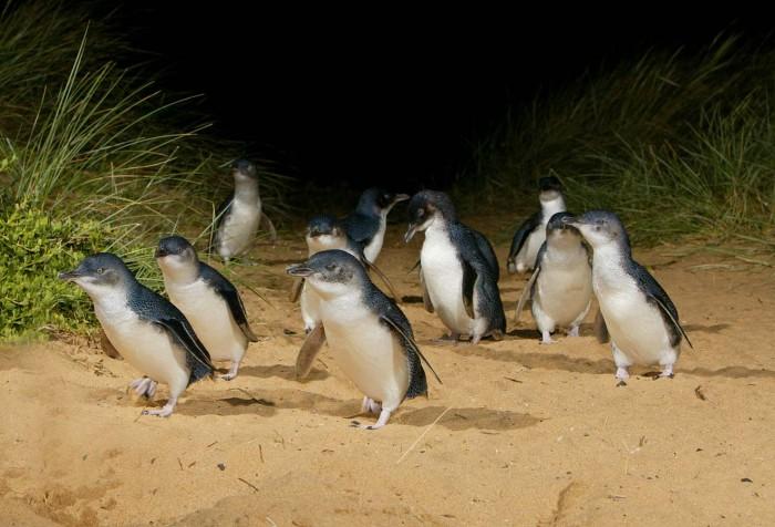 Pinguin in het echt zien, Melbourne