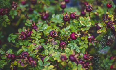 winterharde plant